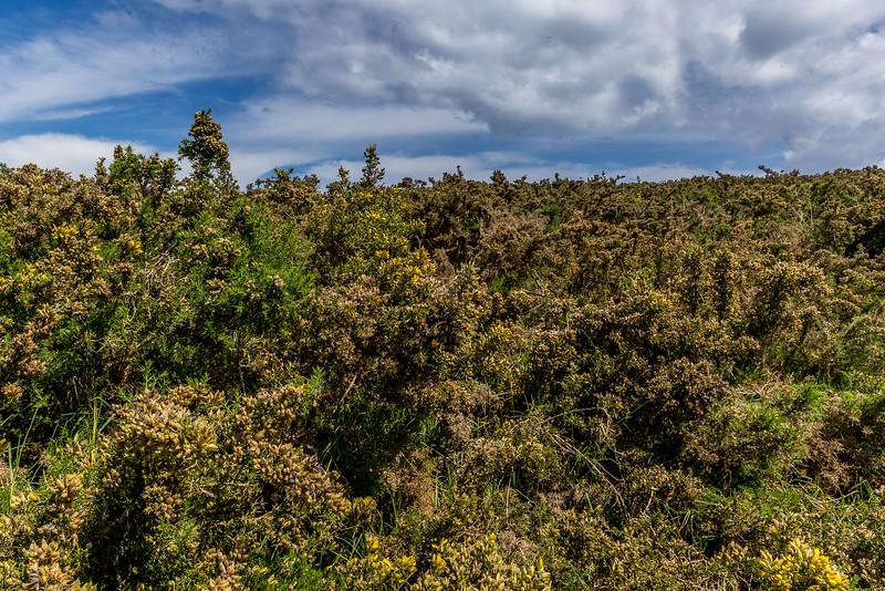 Ein Feld voller Gorse - das stachlige Unkraut in Neuseeland