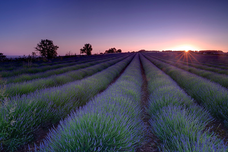 Lavender, Cotswolds