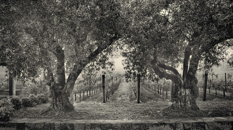 Old Trees. Napa Valley.