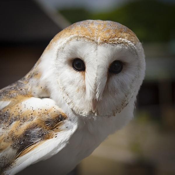 whiteowl.jpg