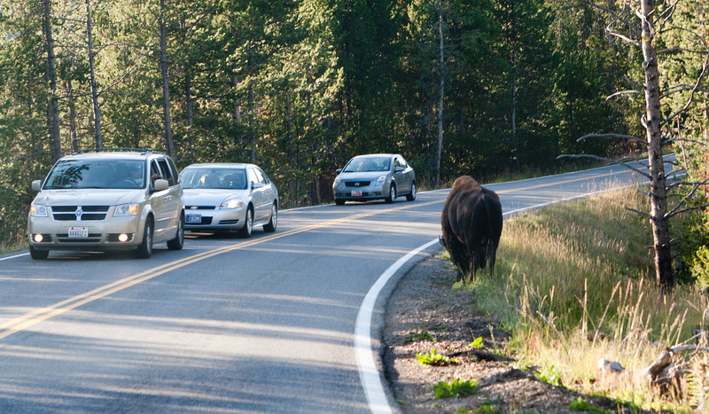 The lone bison.