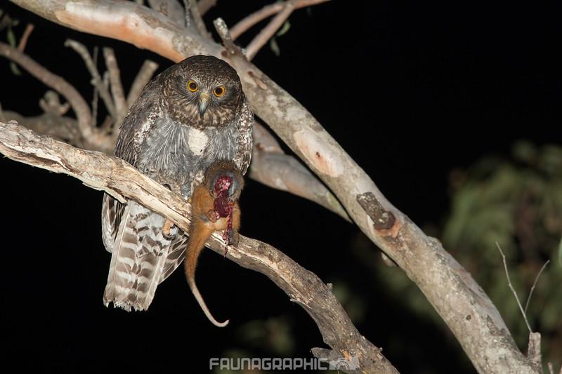 Powerful Owl with Prey