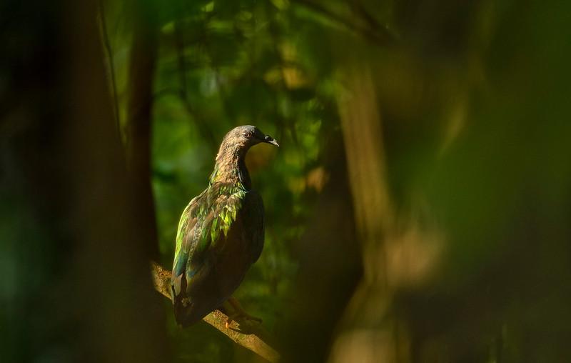Nicobar-pigeon-Little-Andaman.jpg
