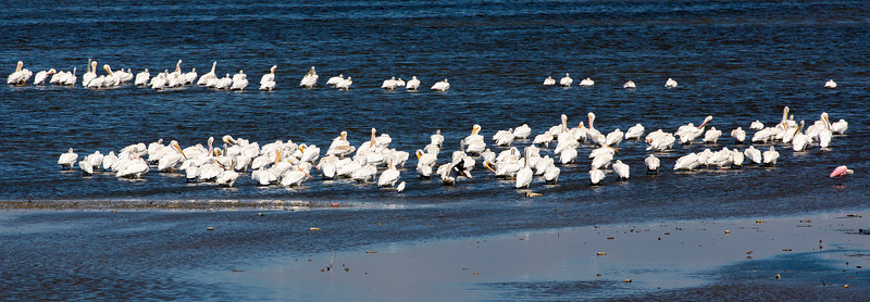 Before we leave, we look to the lake north of the dike.  A huge flock of White Pelicans and one Roseatte Spoonbill.