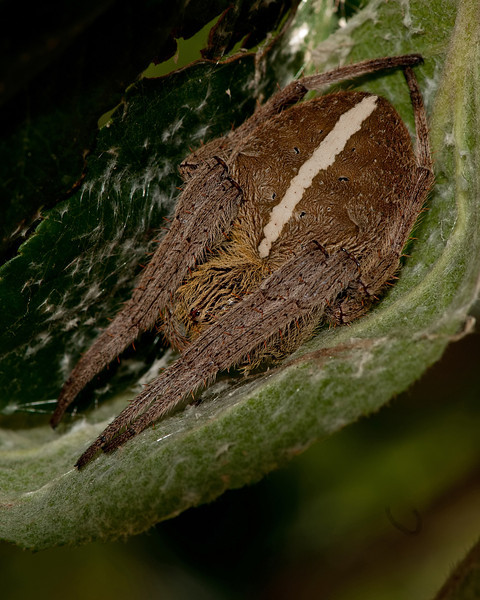 Orb web spider all tucked up for the night