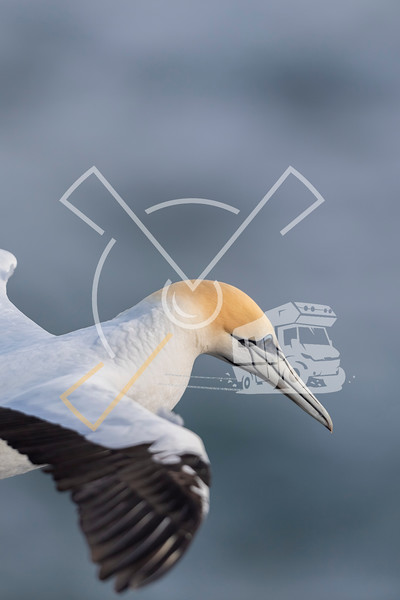 Close up detail portrait of the yellow head of an australasian gannet in flight