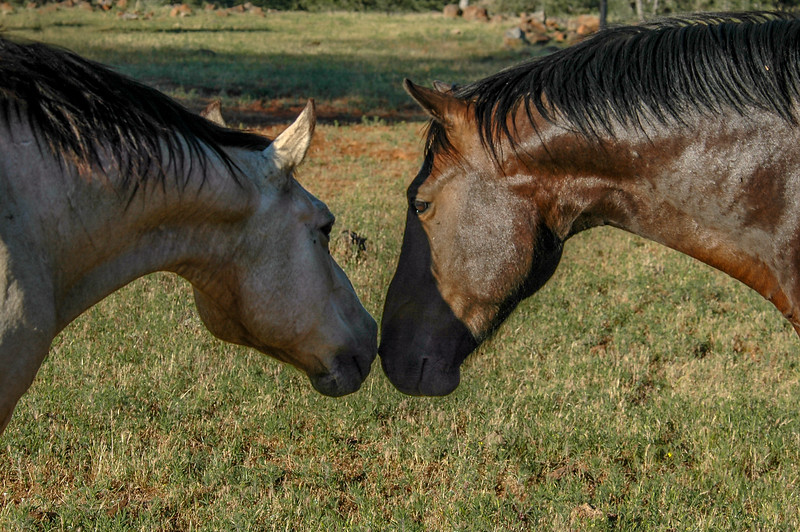 Wild Horses Touching Noses