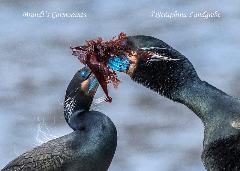 _DSC0072Seaweed Cormorants.jpg