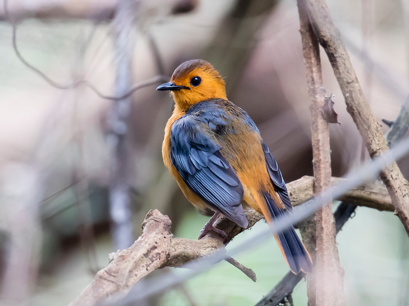 Red-capped Robin-Chat
