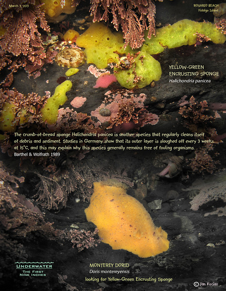 3.4.13 Yellow encrusting sponge S.jpg