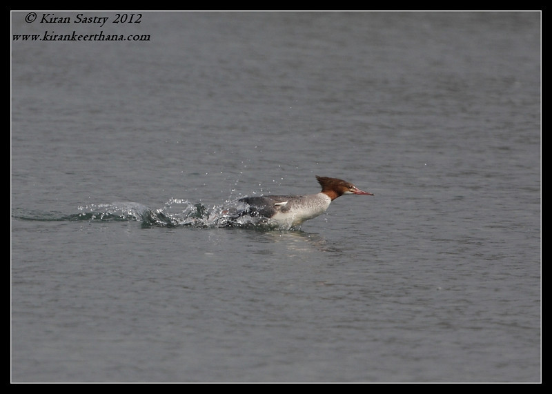 Common Merganser Duck chasing a fish, Robb Field, San Diego River, San Diego County, California, February 2012