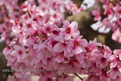 Pink Cloud Flowering Cherry (Prunus serrulata 'Pink Cloud')