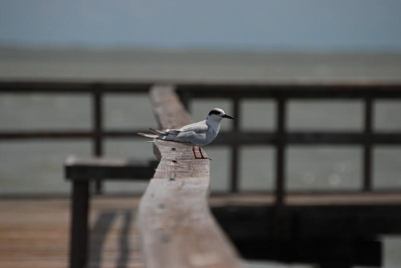 Forster's Tern,TX
