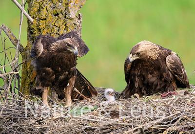 Eagles, Golden Eagles Series #2 Hatch to Fledge, 2019