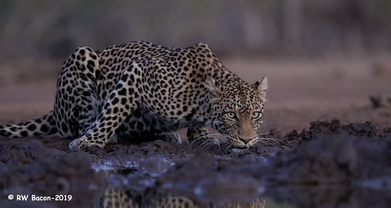 Twilight Leopard.jpg