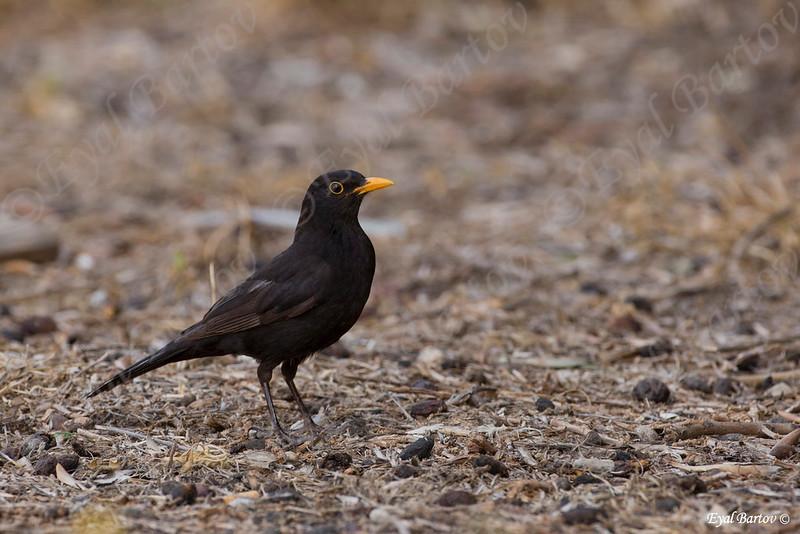 שחרור - Common Blackbird (Turdus merula) 14