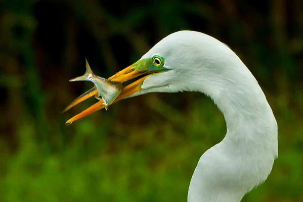 Avery Island Egrets