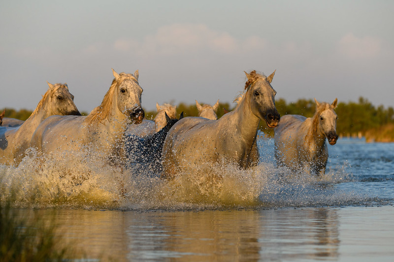 Herd of Camargue White Horses running  in blue water.