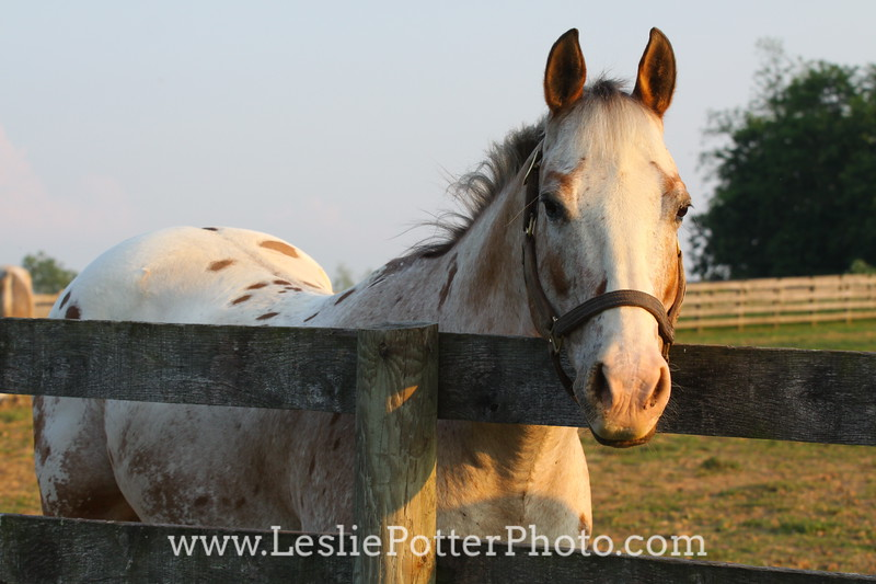 Horse Looking Over Fence at Sunset