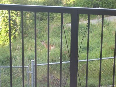 August 28 - vic - Deer