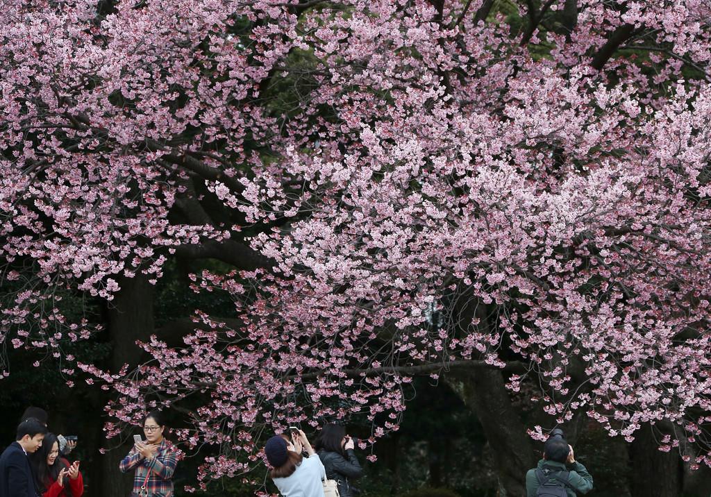 ". Visitors take a picture of early blooming cherry blossom, called as \""Kanzakura\"" at the Shinjuku Gyoen National Garden in Tokyo, Saturday, March 10, 2018. (AP Photo/Koji Sasahara)"