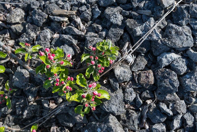 Malus sylvestris, Vildapel, Rosaceae, Rosväxter