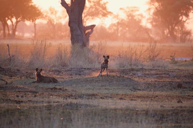 Wild dogs chasing Kudu, Shinde camp, Botswana