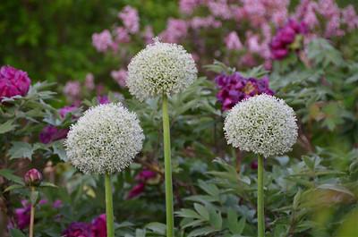 Allium stipitatum 'White Giant'.jpg