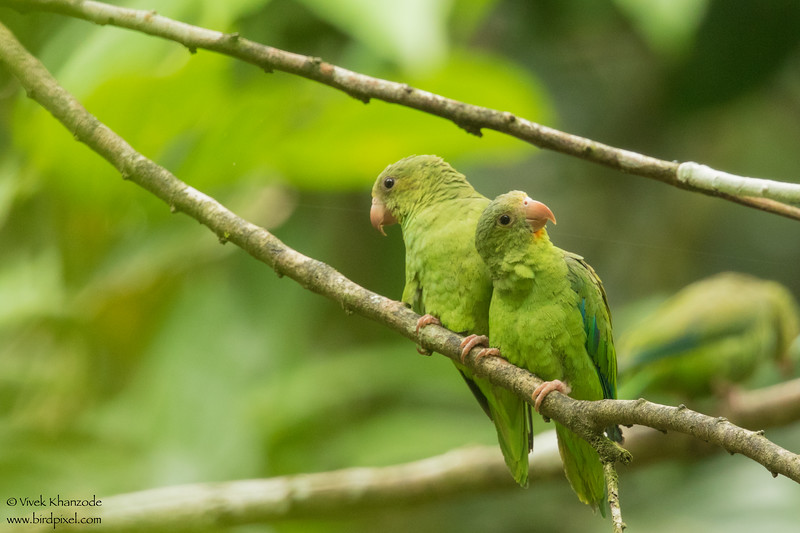 Cobalt-winged Parakeet - Amazon, Ecuador