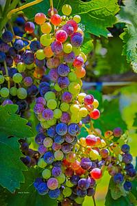 Vines to Wines