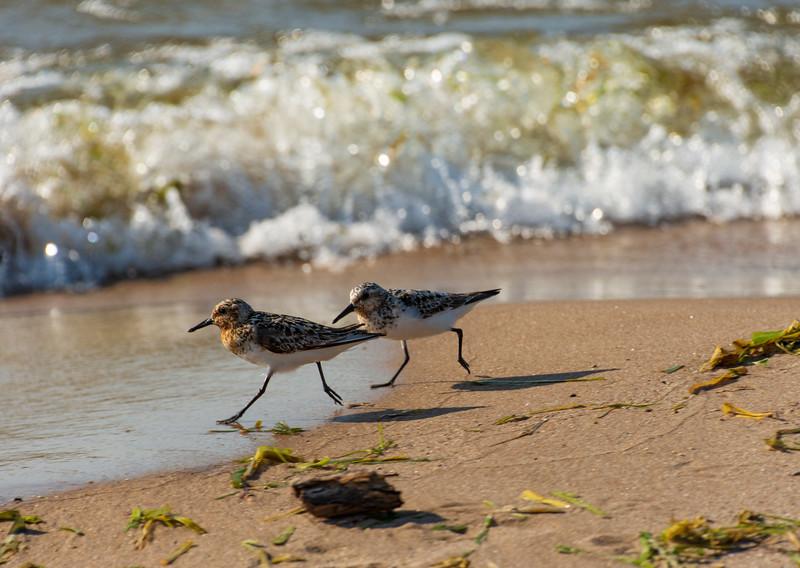 Semipalmated-sandpipers-wasaga-beach2-Ottawa.jpg