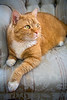Orange colored tabby cat laying on a seat. Photography fine art photo prints print photos photograph photographs image images artwork.