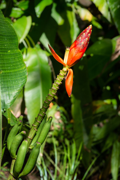 PLANT - Decorative Banana-1116.jpg
