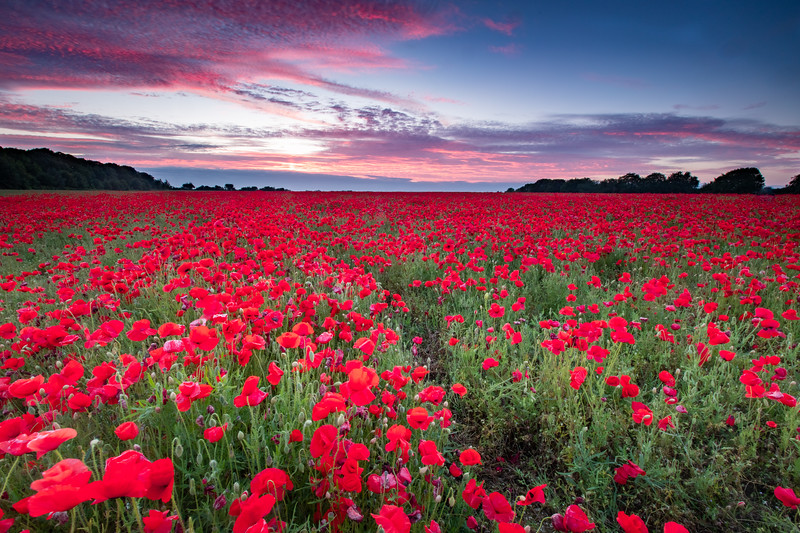 The Poppies At Sunset.jpg