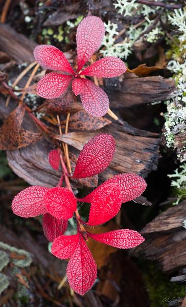 Alpine Bearberry