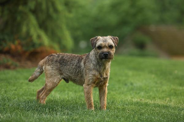 FinCastle Border Terriers