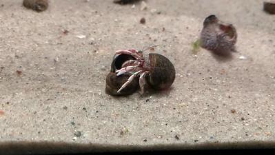 Hermit Crab Swaps Shells