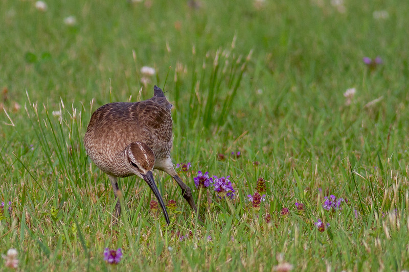 Whimbrel summering on Park Point Duluth MN -0279.jpg