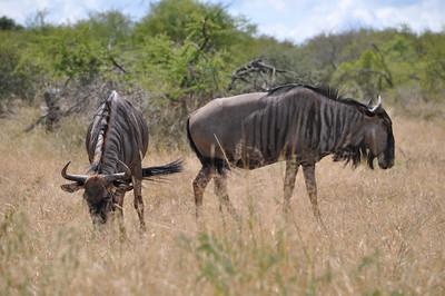 kruger park wildebeest