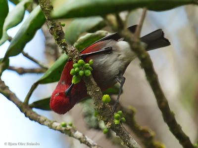 Fringillidae (Finches / Finker)
