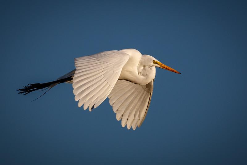 Great White Egret-4527-.jpg