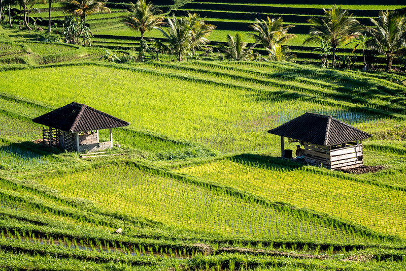 Rice workers huts