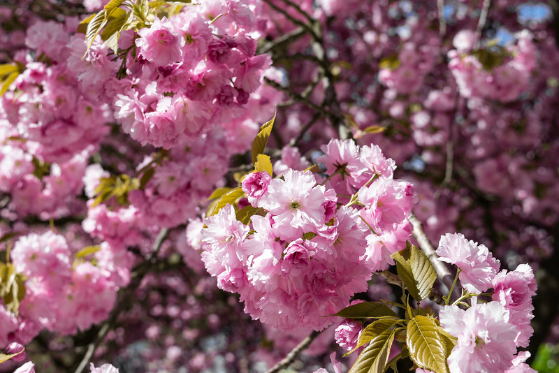 bushes of pink blossoms