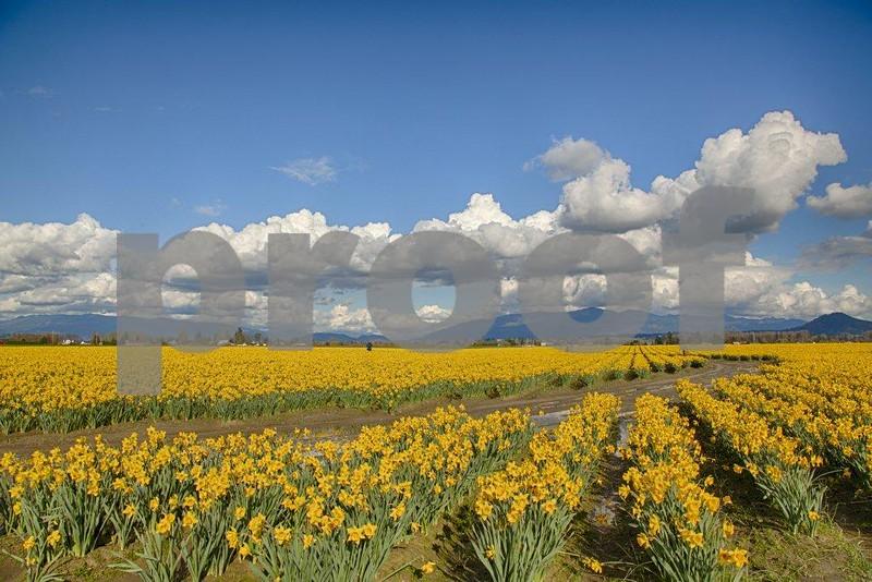 Daffodils 3975_HDR.jpg