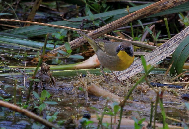 1st year male Eastern Common Yellowthroat. Yellowthroat sightings on this day were common.