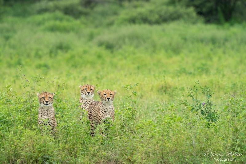 The Three Cheetah Cubs II