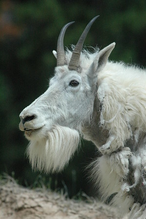 Mountain Goats (Canadian Rockies)