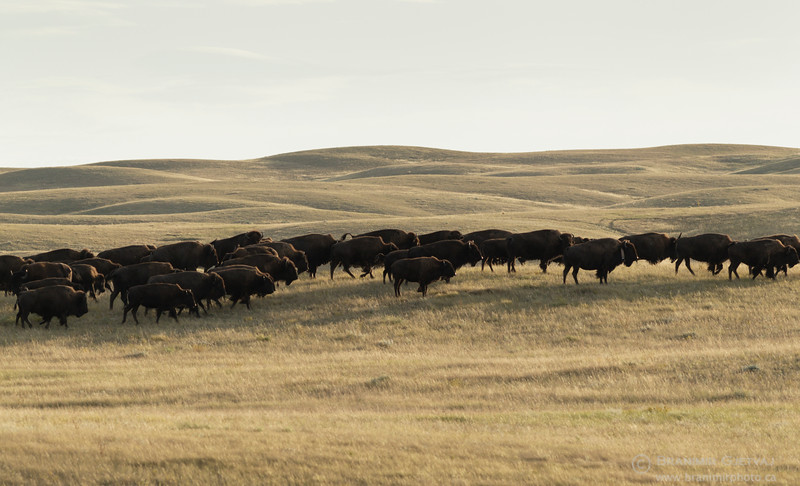 Herd of plains bison in  Grasslands National Park. Saskatchewan