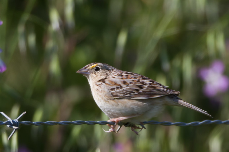 Grasshopper Sparrow - Dry Creek Pioneer Regional Park, Hayward, CA, USA