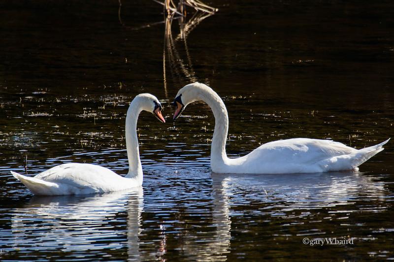 Heart Swans.jpg